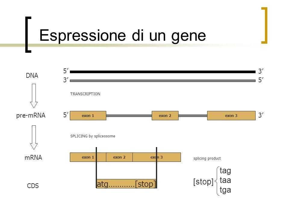 Espressione di un gene tag taa tga [stop] atg…………[stop] 5' 3' DNA 3'